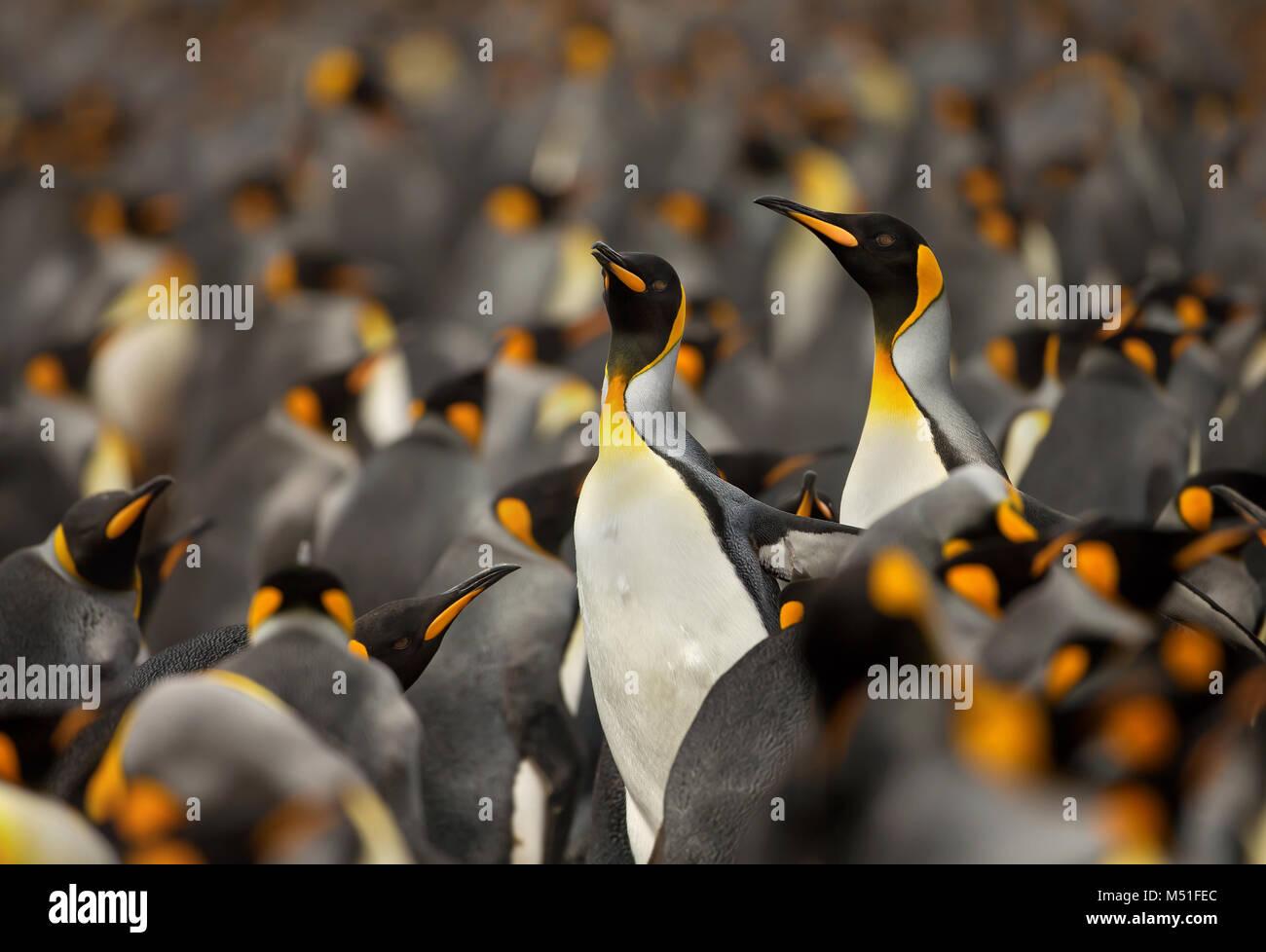 Pingüino Rey (Aptenodytes patagonicus) colonia en las Islas Falkland. Imagen De Stock