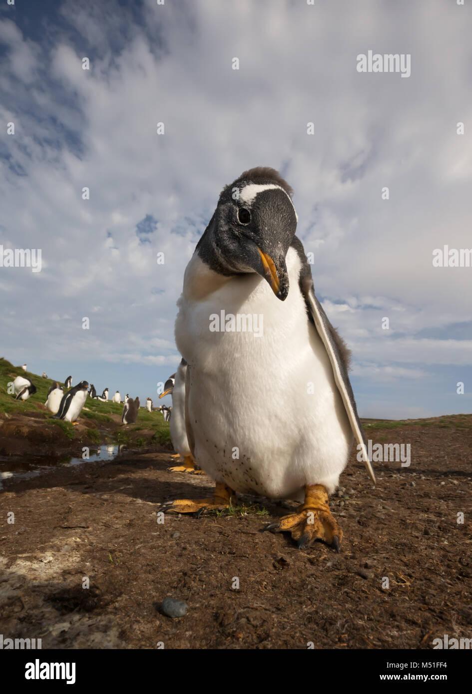 Cerca de pingüinos papúa (Pygoscelis papua) chick, Islas Malvinas. Imagen De Stock