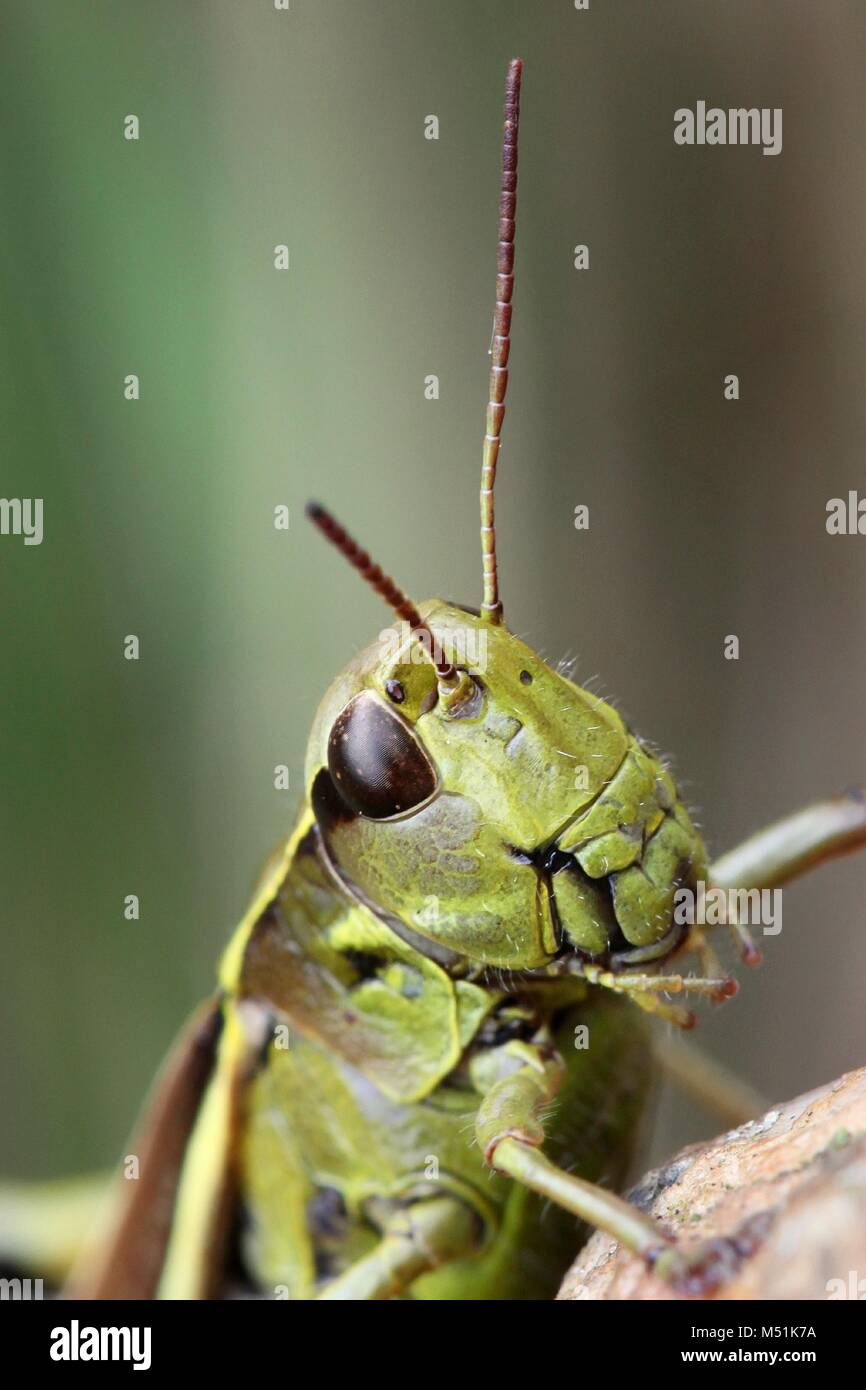 Grasshopper Anatomy Imágenes De Stock & Grasshopper Anatomy Fotos De ...