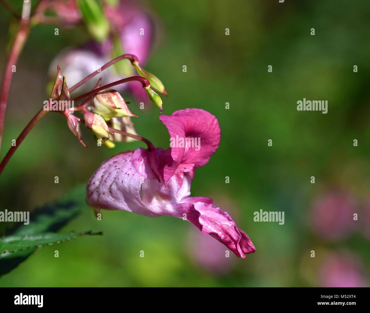 Bee-vagabundos; Bobby tops; cobre tops; Foto de stock
