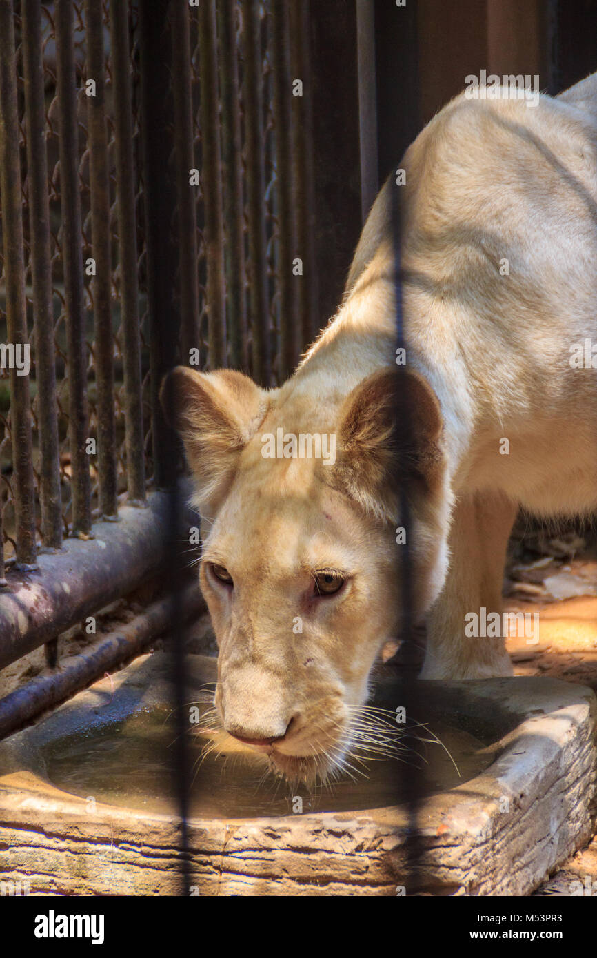 Sentir lástima de jóvenes White Lion en la jaula de acero. Imagen De Stock