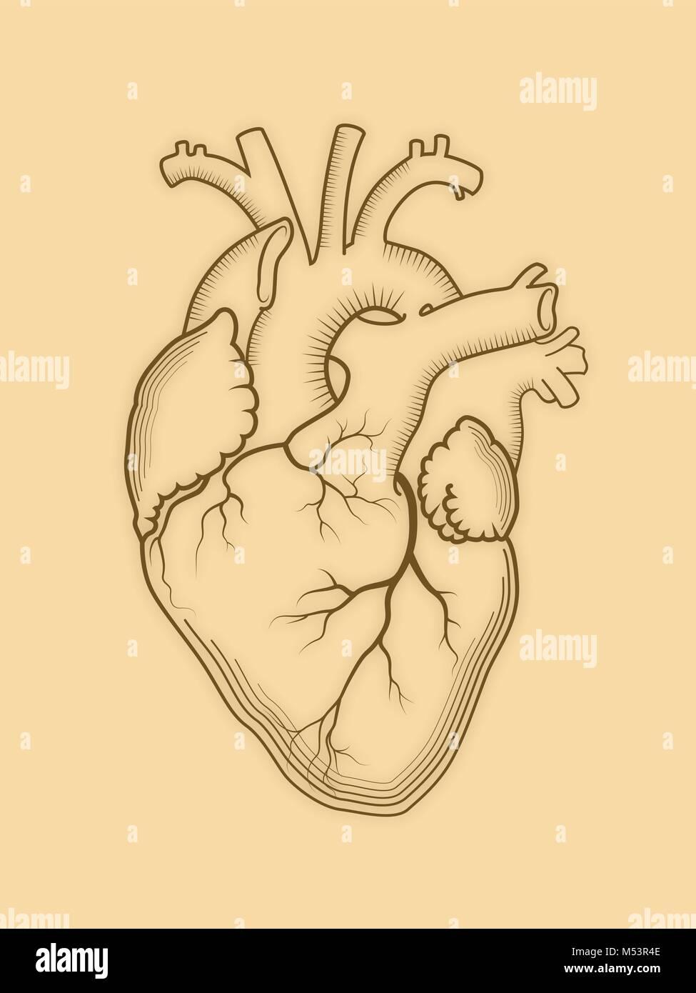 Asombroso Diagrama De Colocación De órganos Humanos Inspiración ...