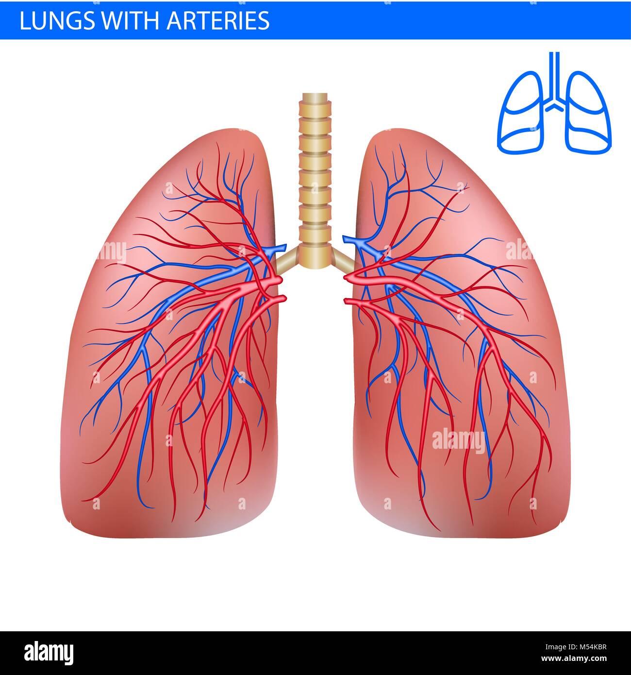 Los pulmones Anatomía con arteria, sistema circulatorio ilustración ...