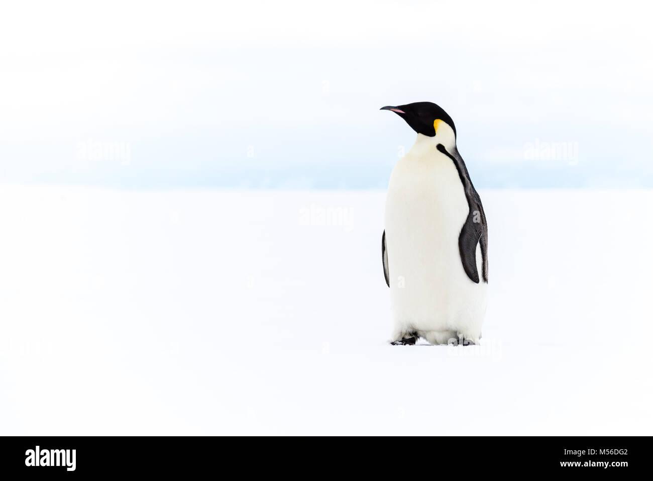 El pingüino emperador, la Plataforma de Hielo de Ross, en la Antártida Imagen De Stock