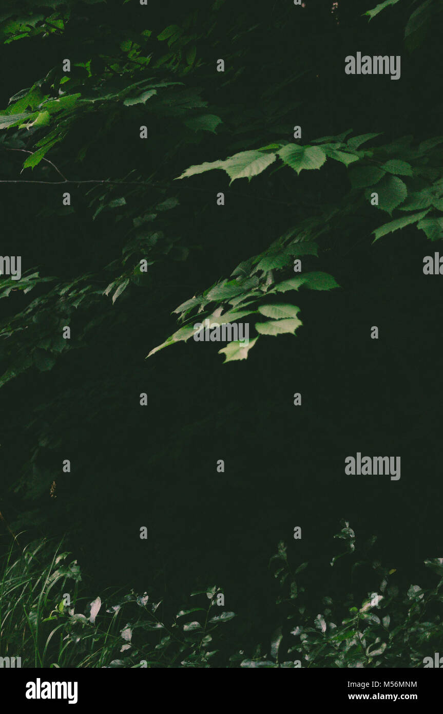 Linden hojas verdes. Cuento de hadas. El misticismo. Imagen De Stock