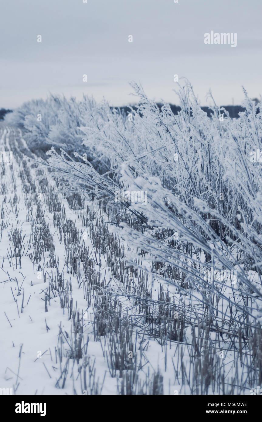 Campo de cereales congelados. Azul por la tarde el estado de ánimo. Imagen De Stock