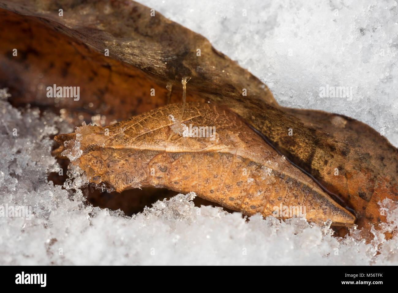 Especie Spicebush chrysalis después de las nevadas. Crisálida se realizan en hojas no ramas o corteza. Caen al suelo Foto de stock