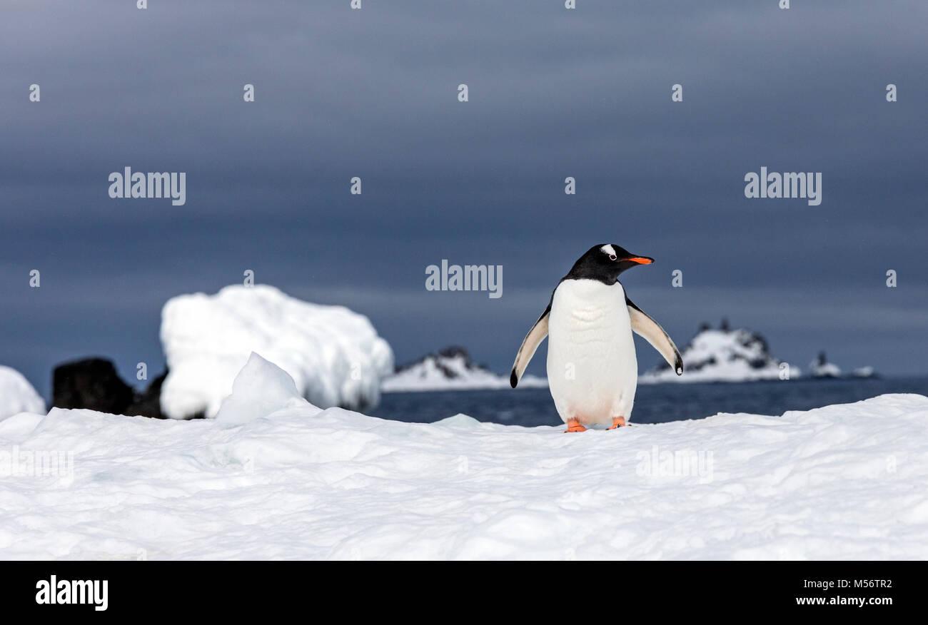 Largas colas; pingüinos Pygoscelis papua; la mitad de la isla de La Luna; la Antártida Imagen De Stock