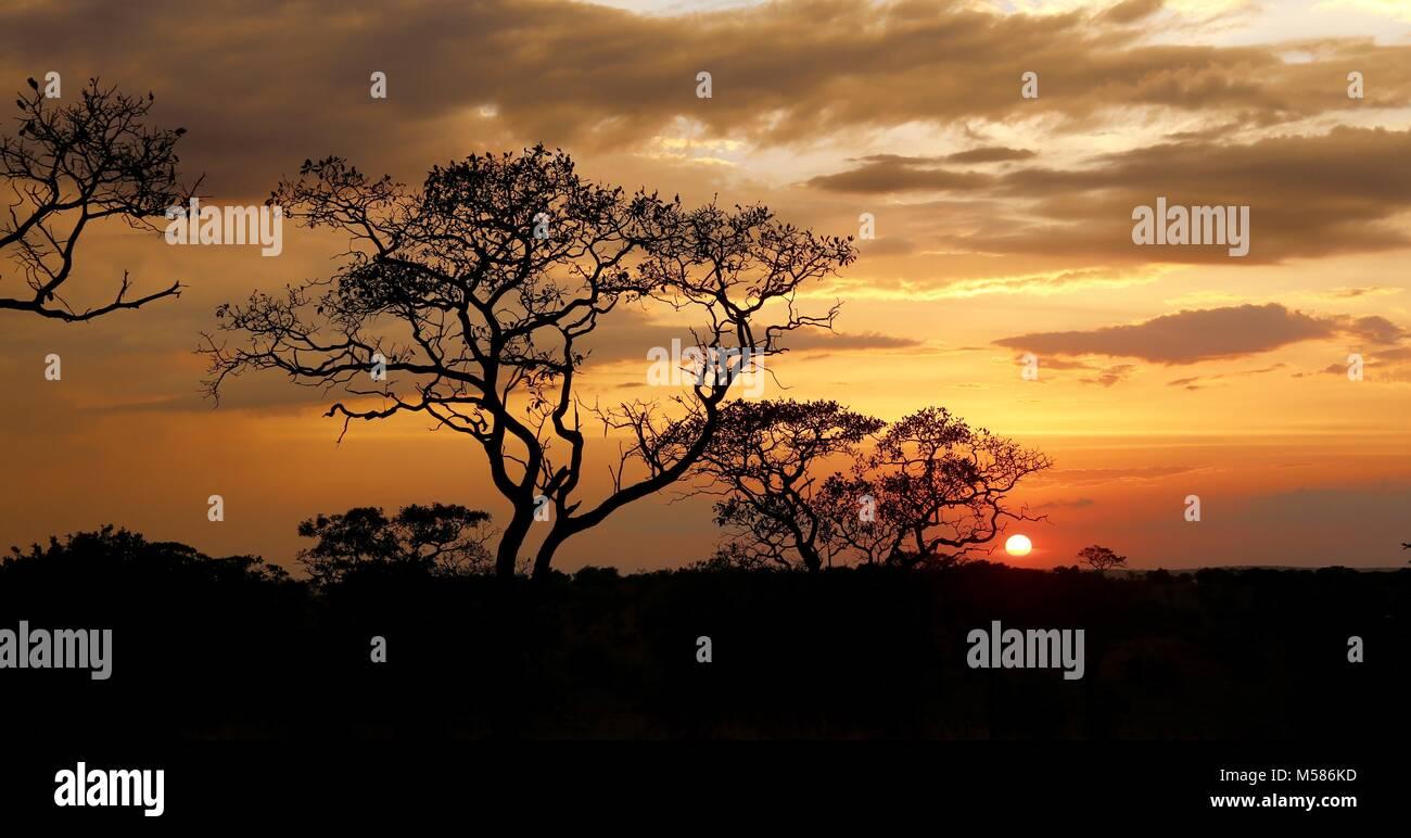Acacias Imagen De Stock