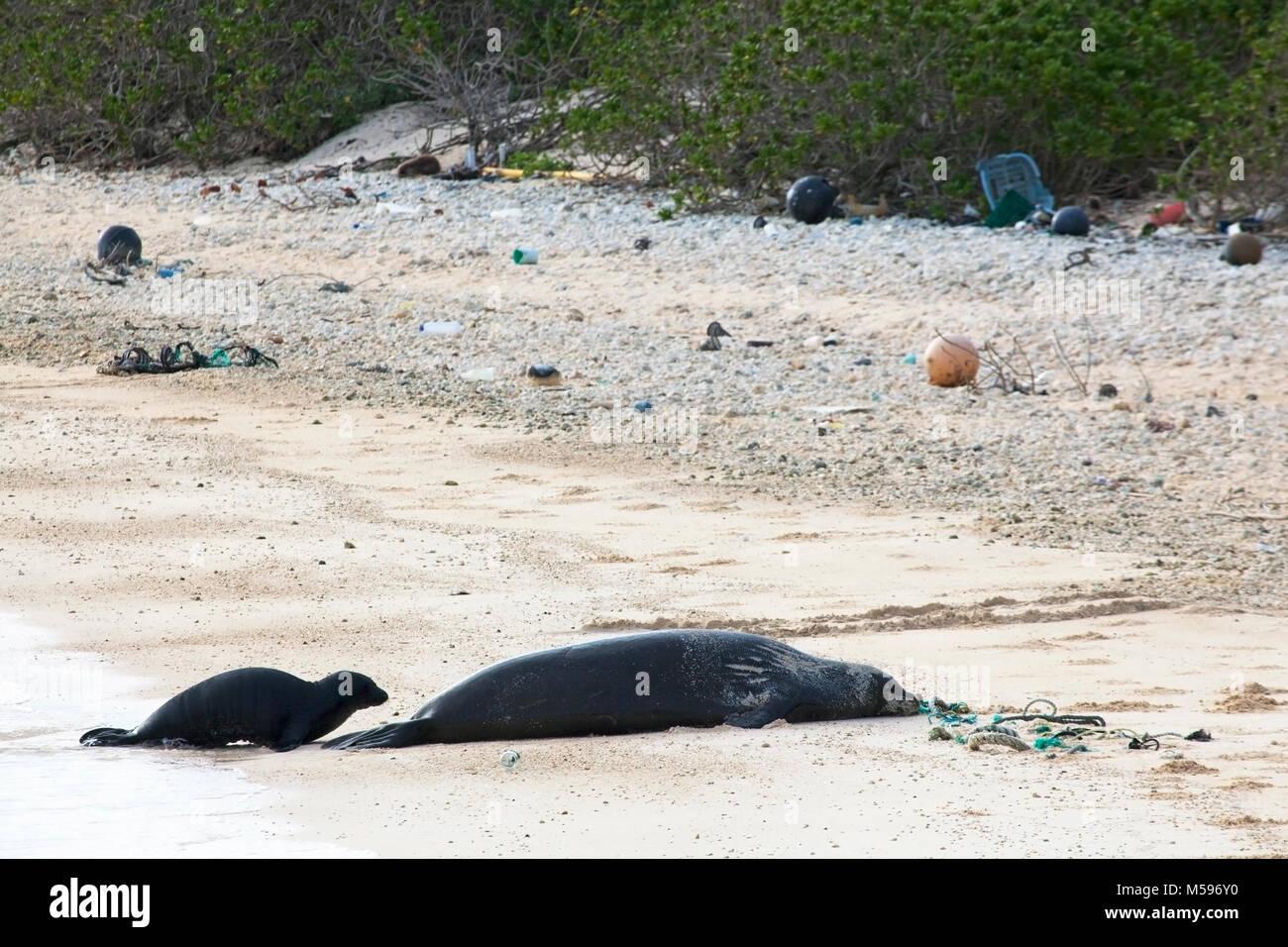 La foca monje hawaiana (Neomonachus schauinslandi) a la madre y al bebé en el norte de la isla del Pacífico con los desechos marinos incluyendo cuerdas y arrastrado de plástico Foto de stock