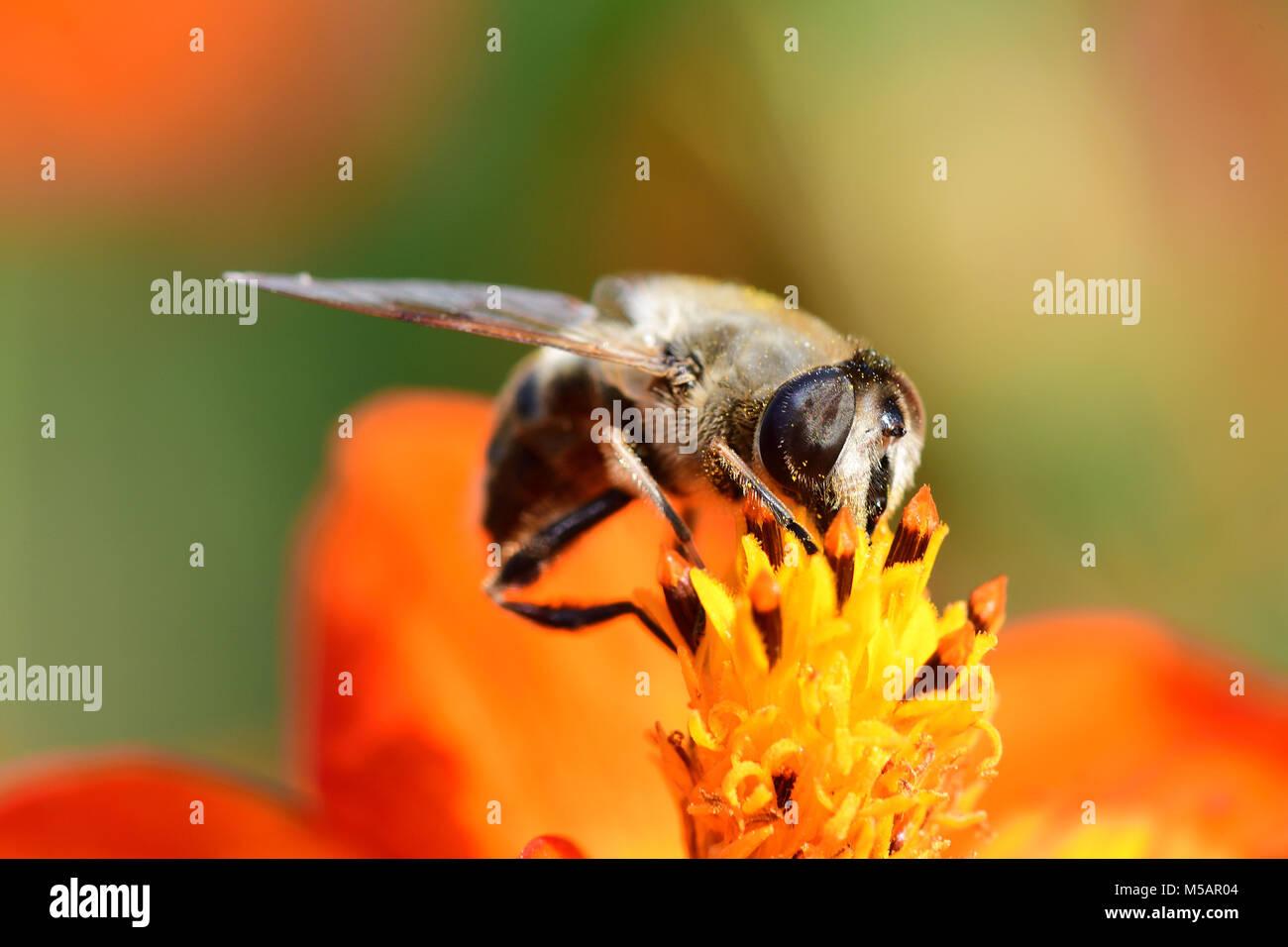 Foto de una abeja polinizando una flor coreopsis naranja Imagen De Stock