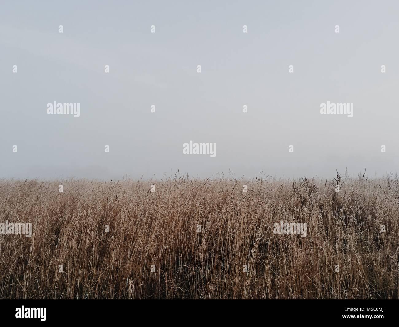 Nada detrás de campo de trigo blanco. Otoño duro escena con niebla. Imagen De Stock