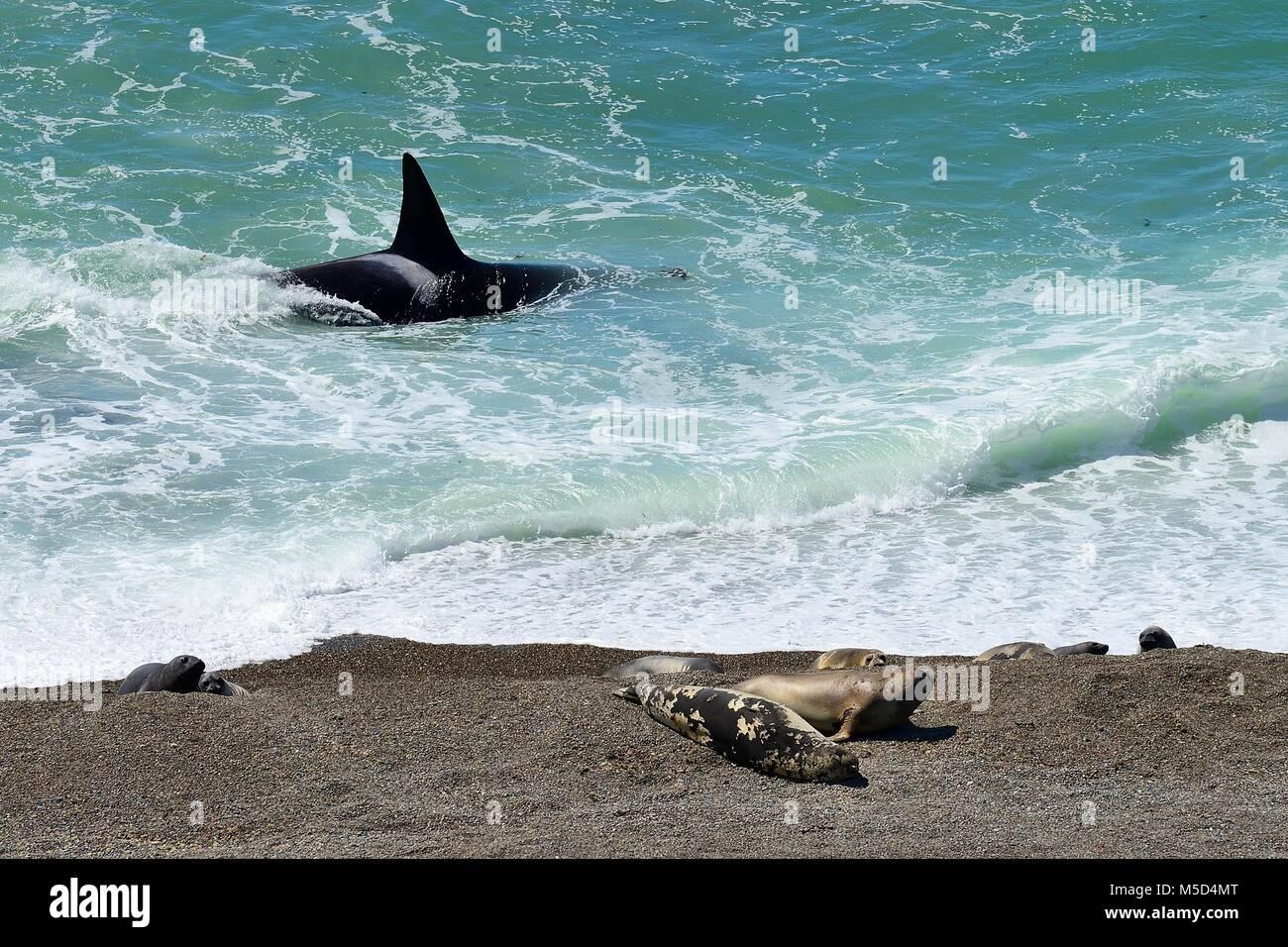 Orca (Orcinus orca) en busca de presas en la parte delantera de banco de grava con elefantes marinos (Mirounga leonina) Imagen De Stock