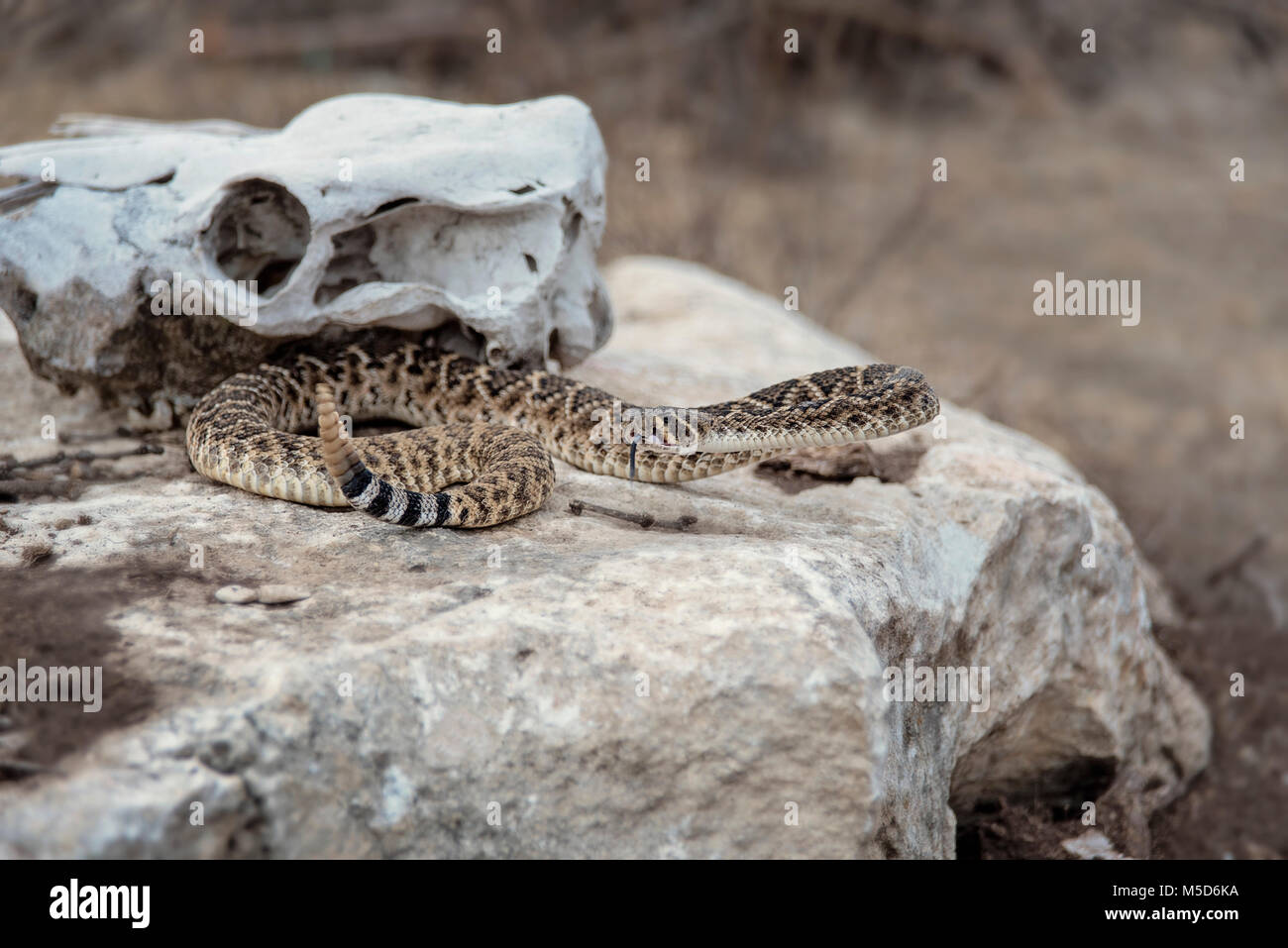 Cascabel en Boulder en frente de cráneos de vaca en Texas Imagen De Stock