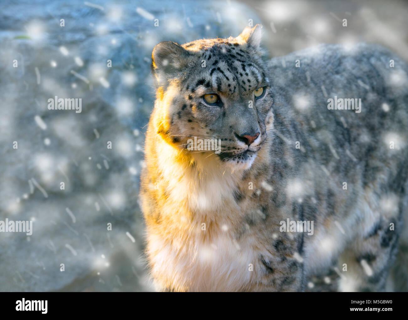 Retrato de leopardo de nieve cautivo o onza Panthera uncia Foto de stock
