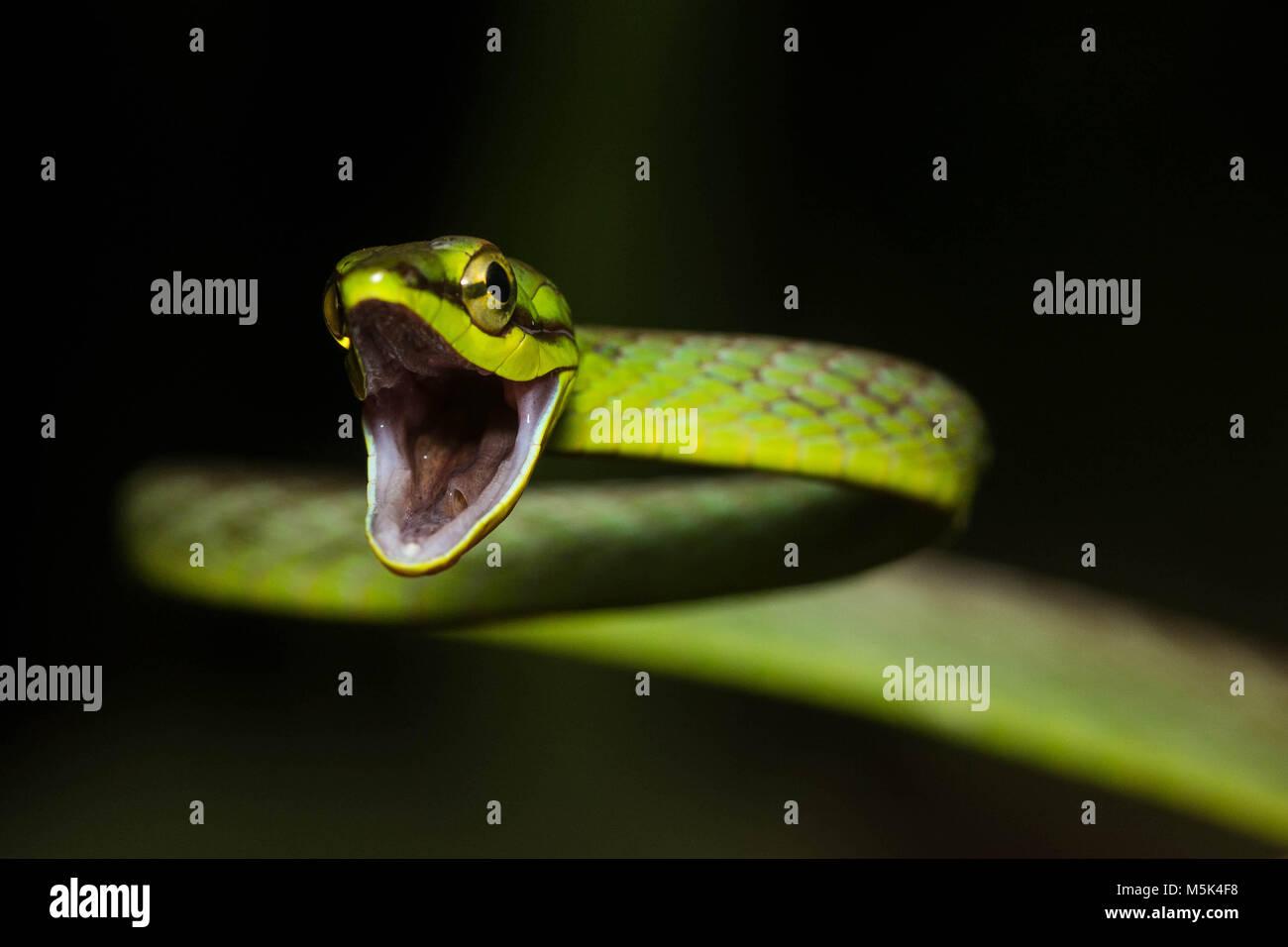 Una vid cope snake (Oxybelis brevirostris) intenta mirar tan duro como sea posible, a fin de ahuyentar a los depredadores. Foto de stock