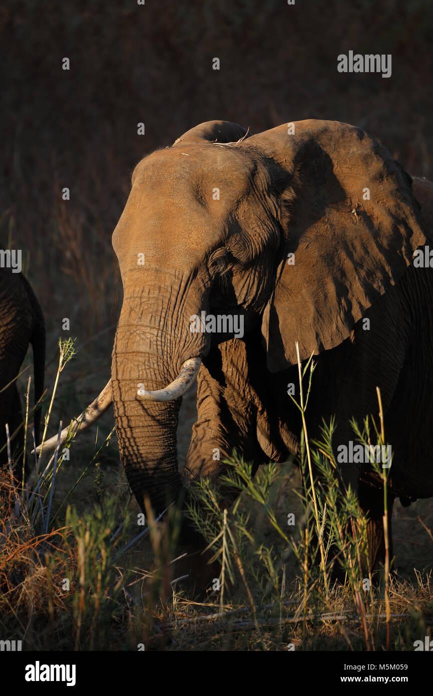 Elefante africano (Loxodonta africana), la alimentación, el Parque Nacional Kruger, Sudáfrica Foto de stock