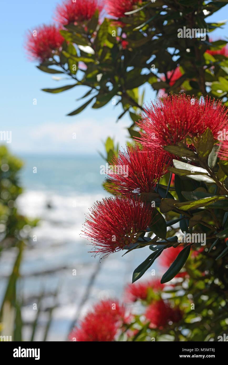 Flores de Nueva Zelandia, pohutakawa Metrosideros excelsa, enmarcan ...