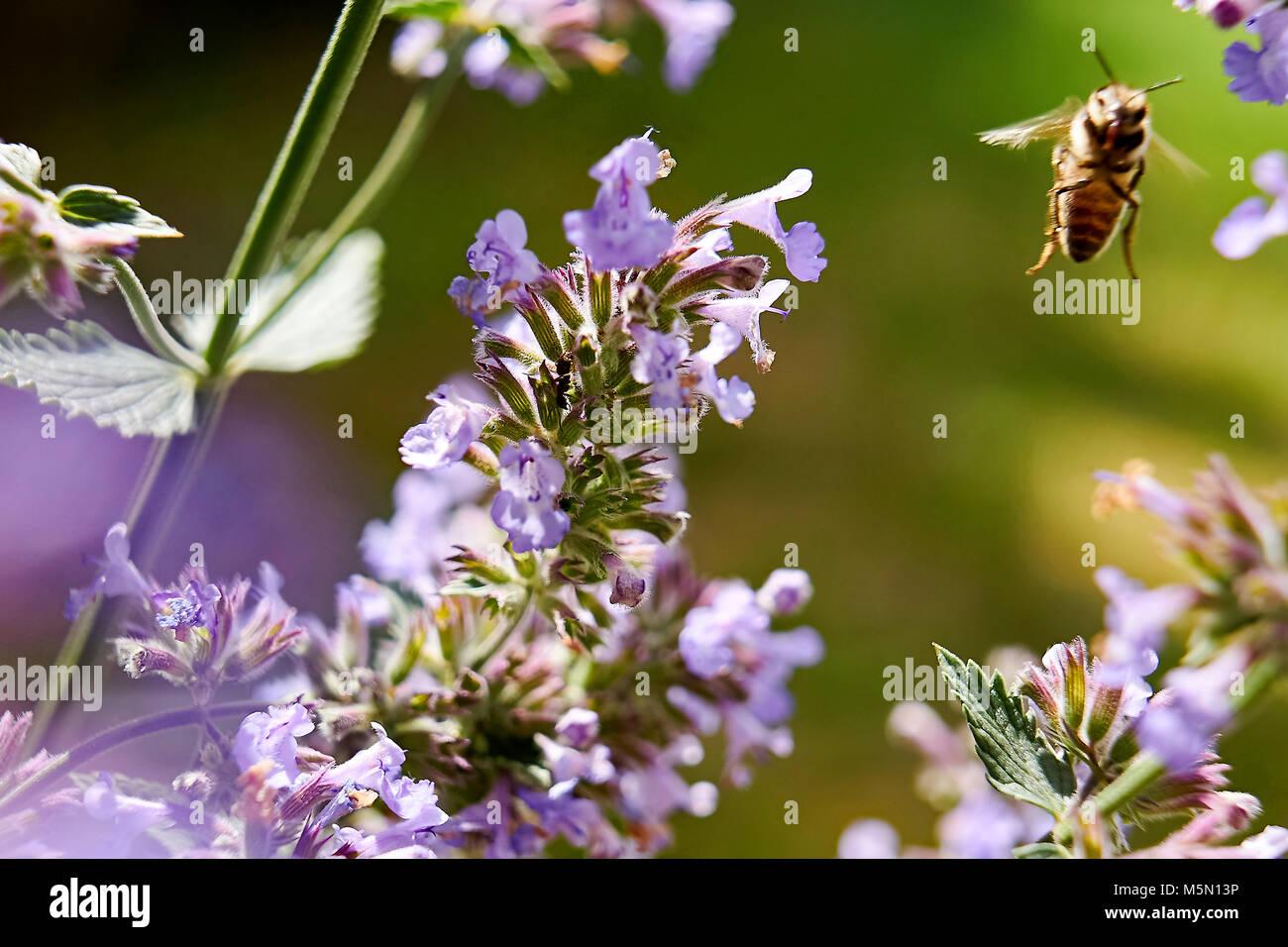 Prado - Verano bee recogiendo néctar floral, grandes cerca (macro) Foto de stock