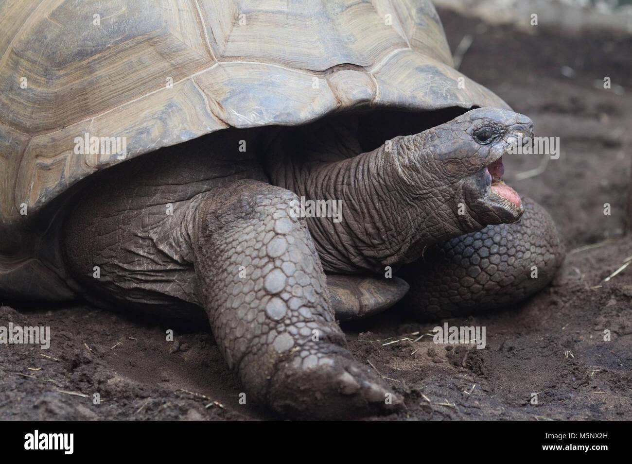 Aldabra tortuga gigante Imagen De Stock