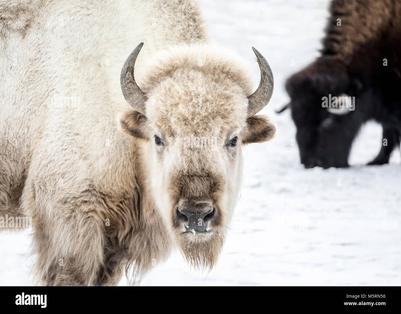 Bisonte Blanco sagrado, Manitoba, Canadá. Imagen De Stock