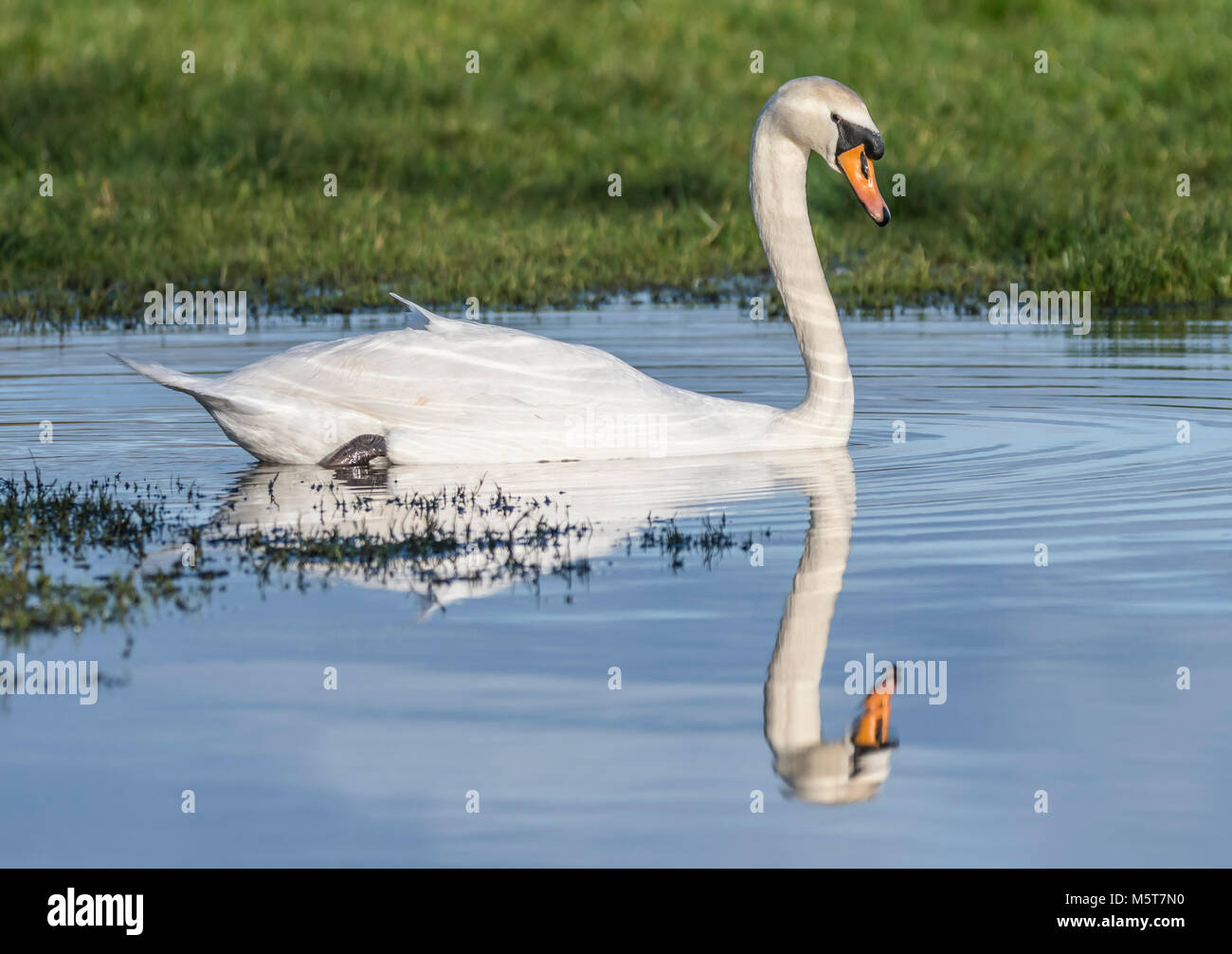 Cisne Blanco (Cygnus olor) con reflejo perfecto, vista lateral, nadando en el agua en invierno en Inglaterra, Reino Imagen De Stock