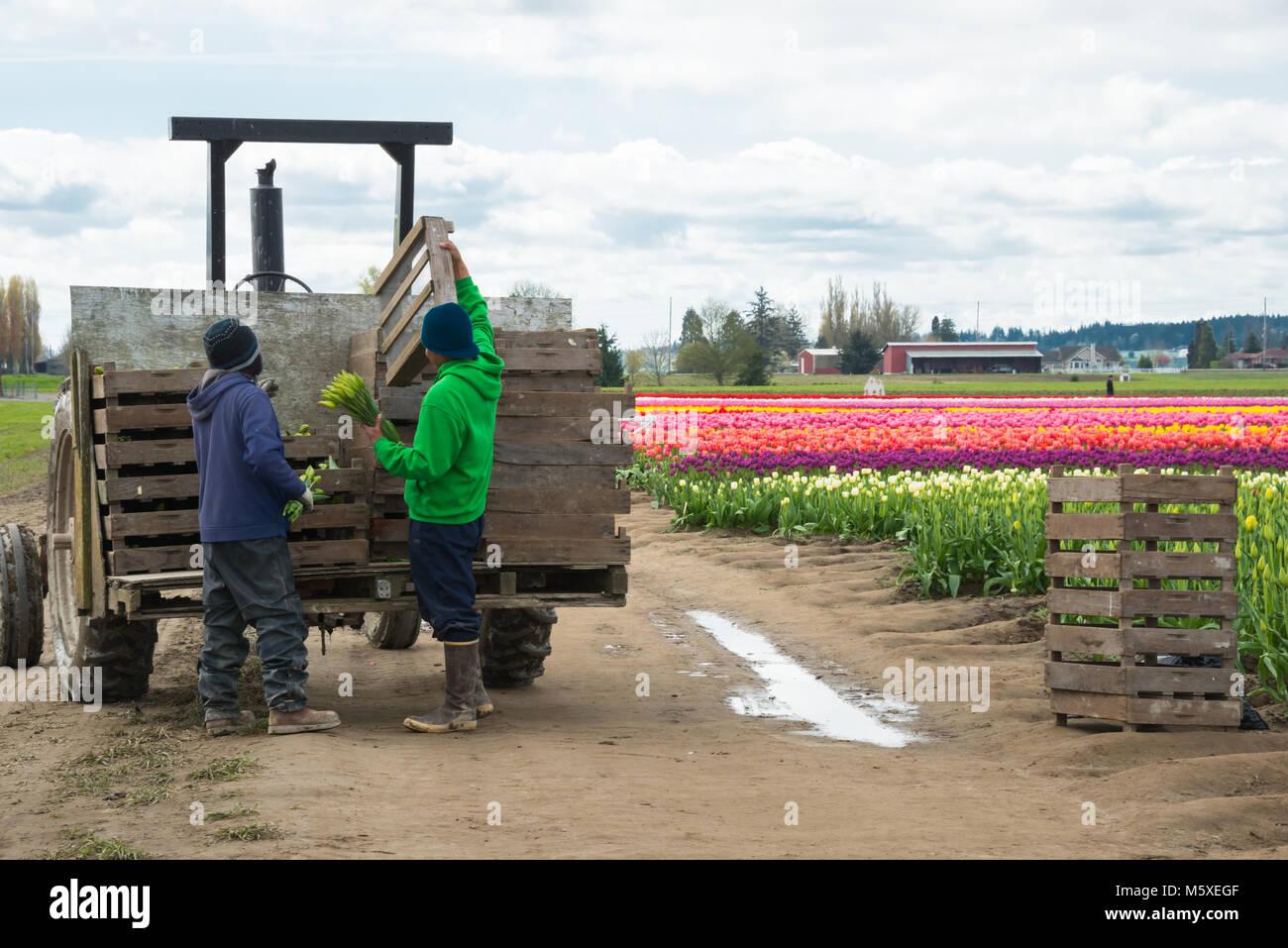 Los trabajadores agrícolas migratorios Cargando flores en remolque el tractor en la granja Imagen De Stock