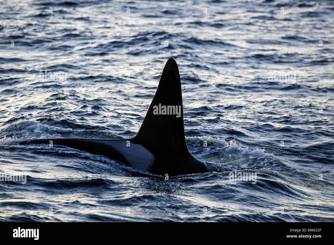 Killer Whale sobre la superficie del agua, Orcinus orca, Andfjorden, la isla de Andoya, Noruega Foto de stock