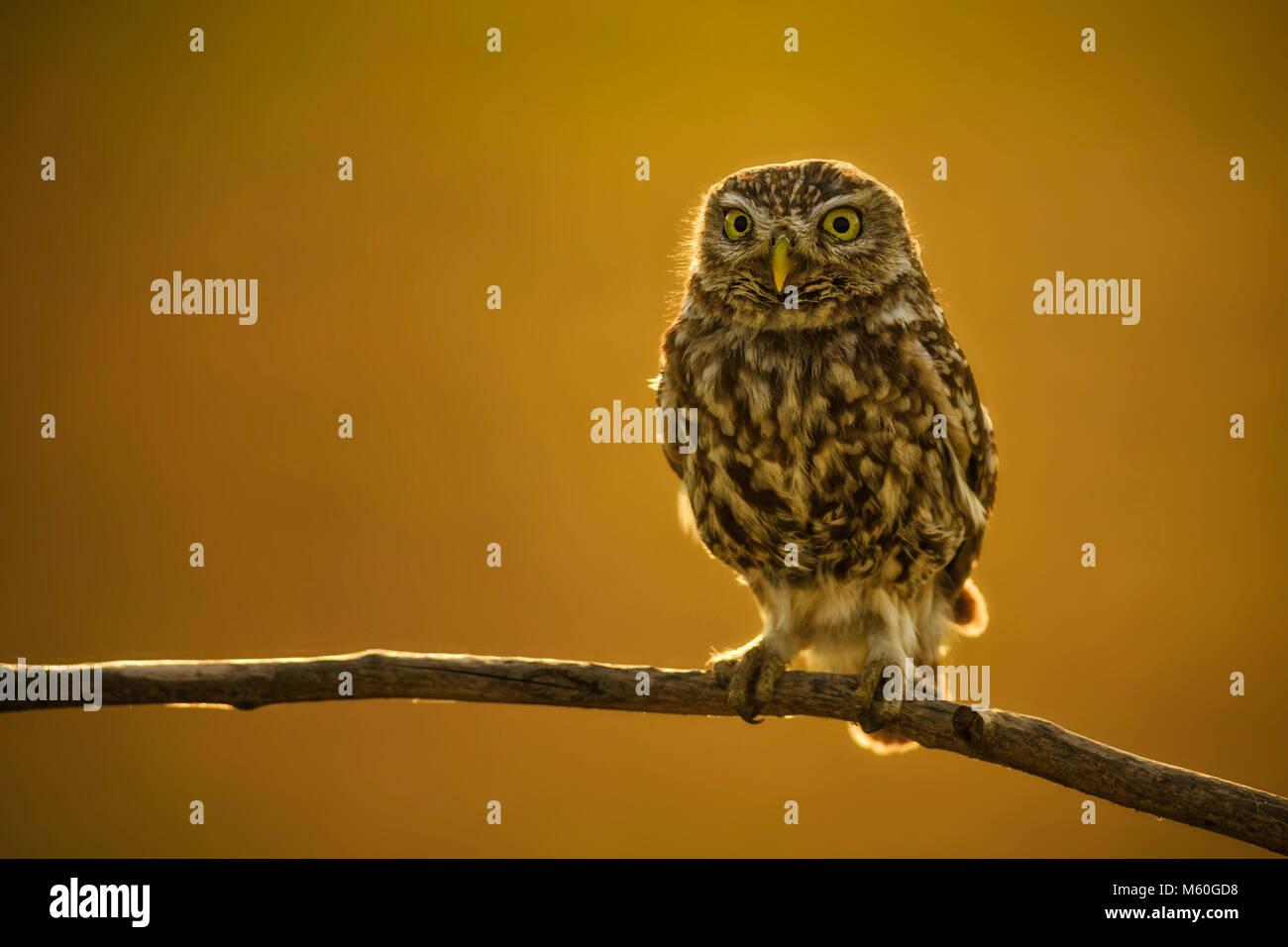 Pequeña Lechuza - Athene noctua, pequeña hermosa lechuza del bosque europeo sentado en la rama en la velada agradable luz dorada con fondo claro. Foto de stock