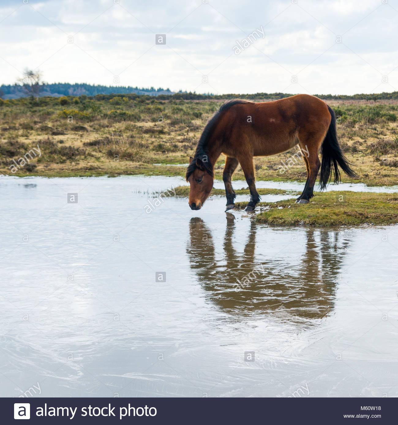 New Forest, Hampshire, Reino Unido, 27 de febrero de 2018. El clima del REINO UNIDO: Ponis encontrar su normal abrevaderos Imagen De Stock