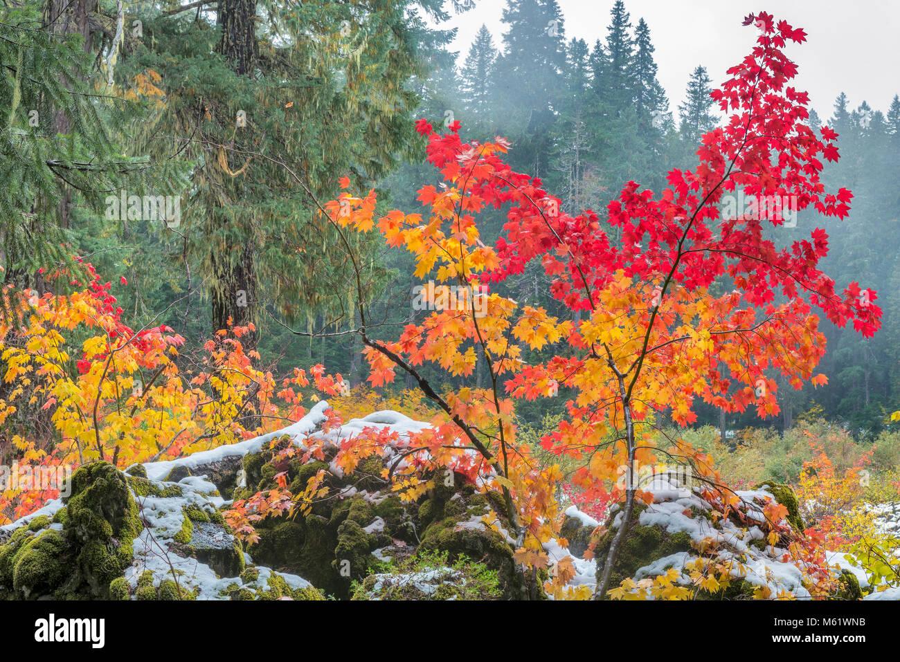 Niebla, Vid Maple, Acer circinatum, roca volcánica, Santiam Trail, McKenzie River National salvaje y escénico Imagen De Stock