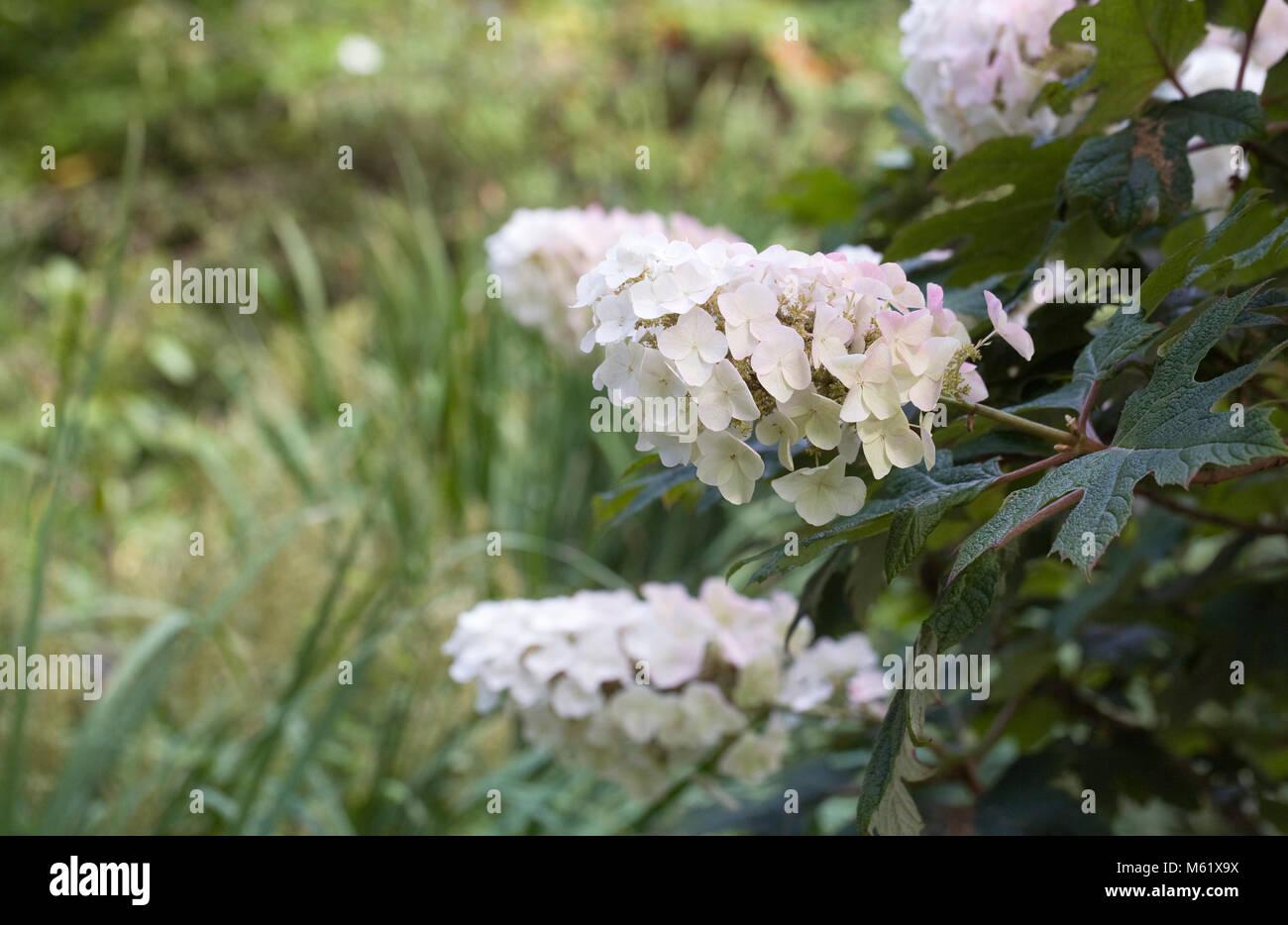Hydrangea quercifolia 'aplausos' flores, Foto de stock