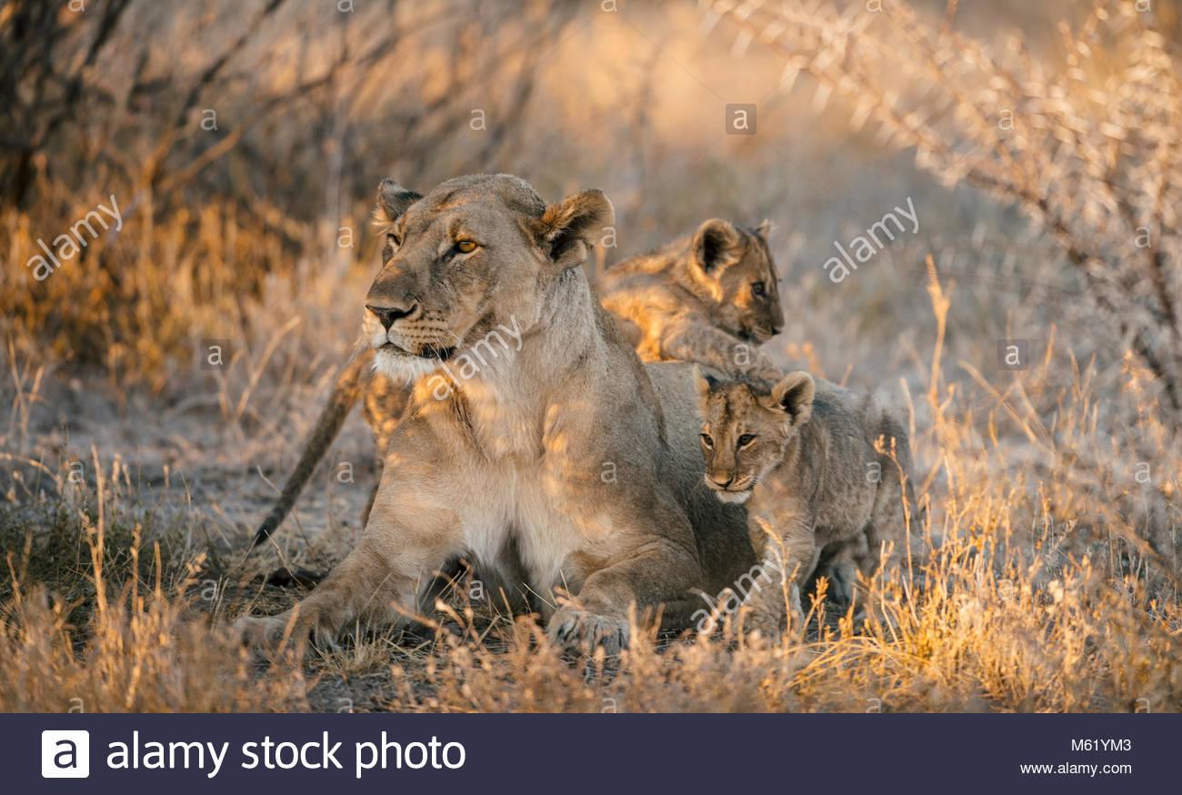 Leona, Panthera leo, y dos cachorros y asearse descansando en la sombra. Imagen De Stock