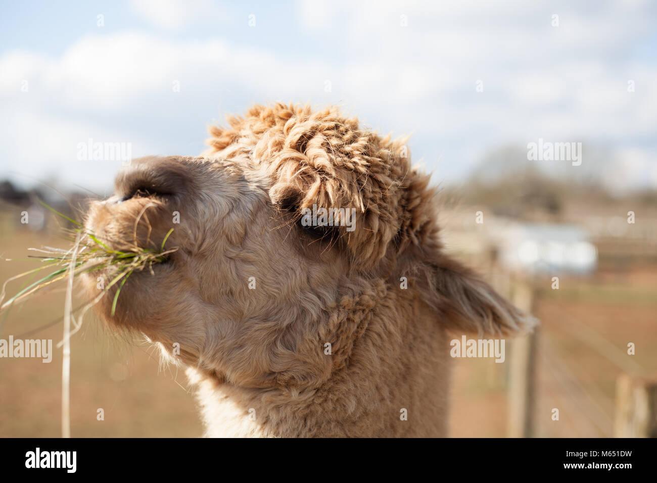 Cerca de una sola lama mostrando carácter y personalidad en día soleado Foto de stock