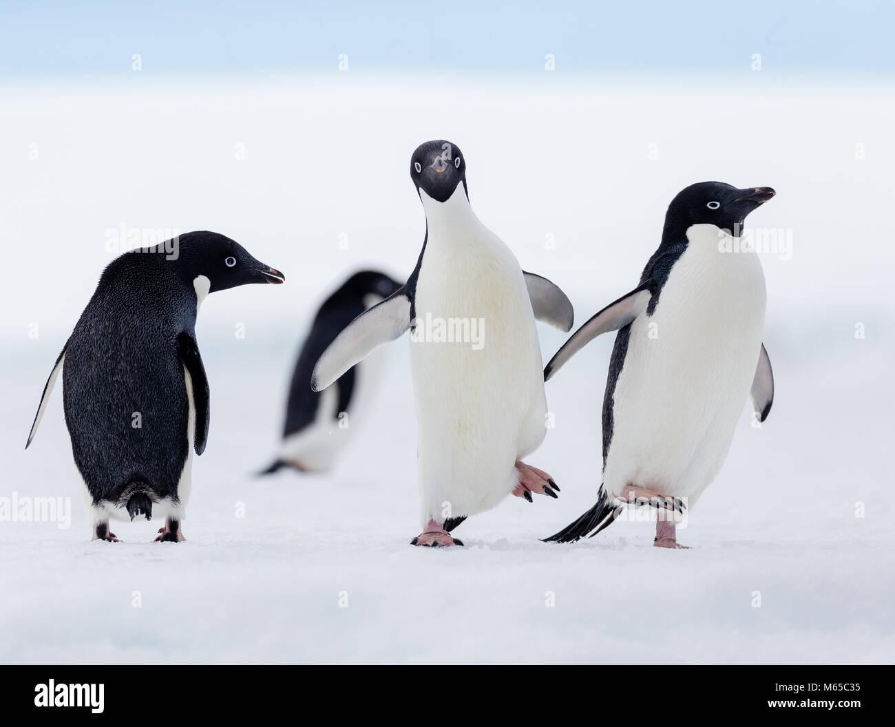 Un grupo de pingüinos Adelia que camina en un flujo de hielo frente a la costa de la isla Joinville en Antarctic Imagen De Stock