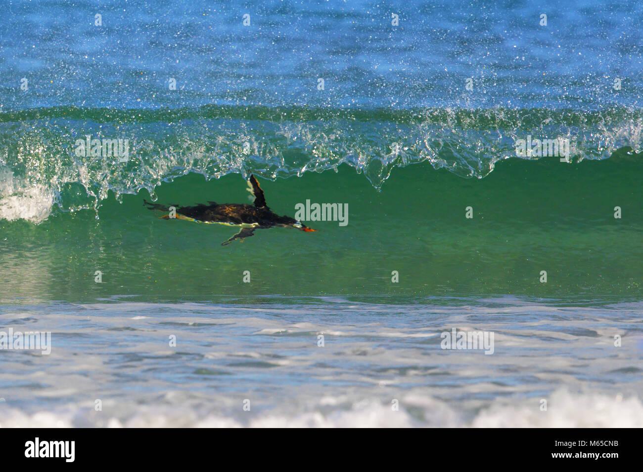 Pingüino de Gentoo Imagen De Stock