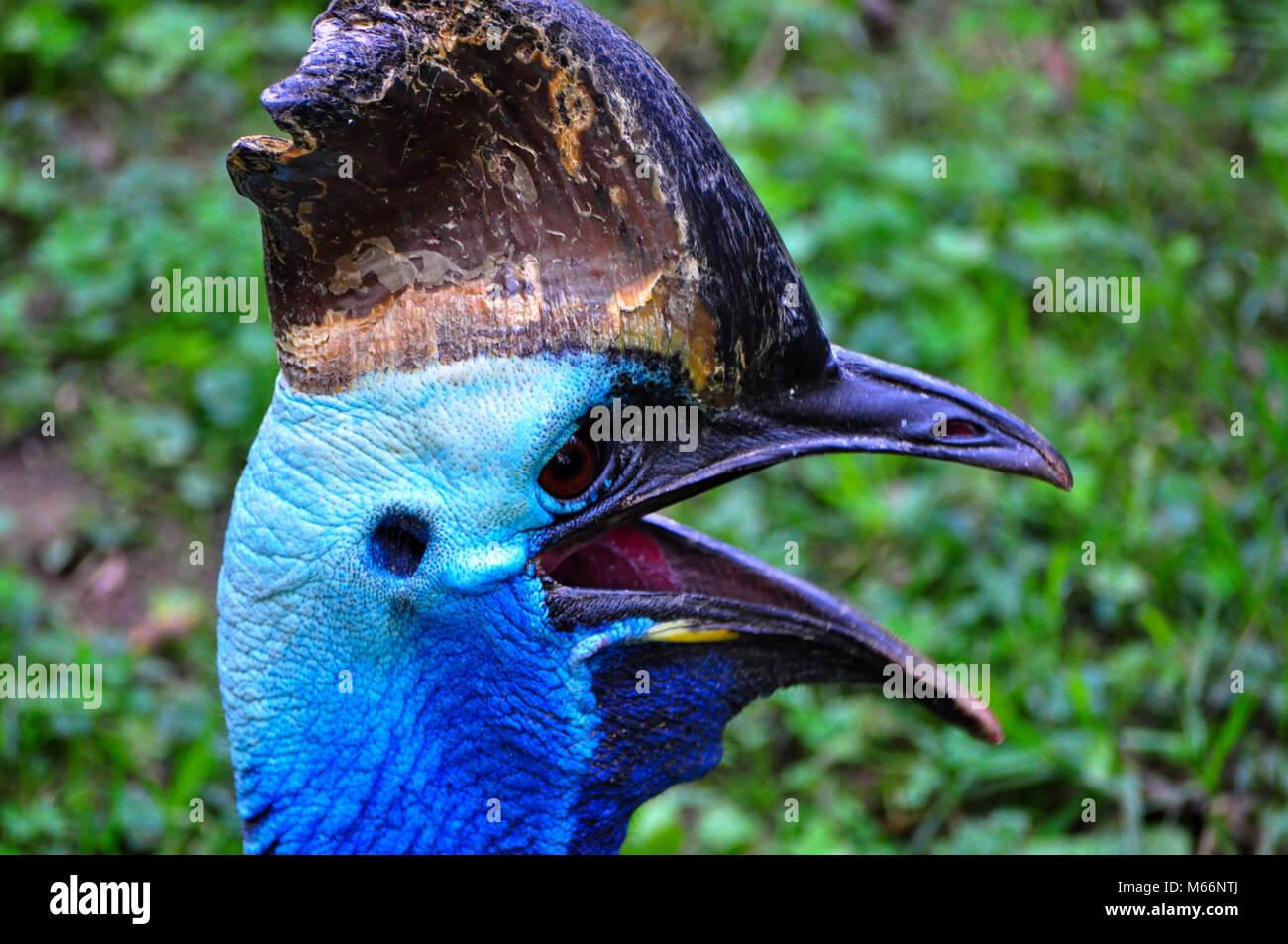 No Cassowary pájaro volando en el Zoológico Nacional en Washington D.C. Foto de stock