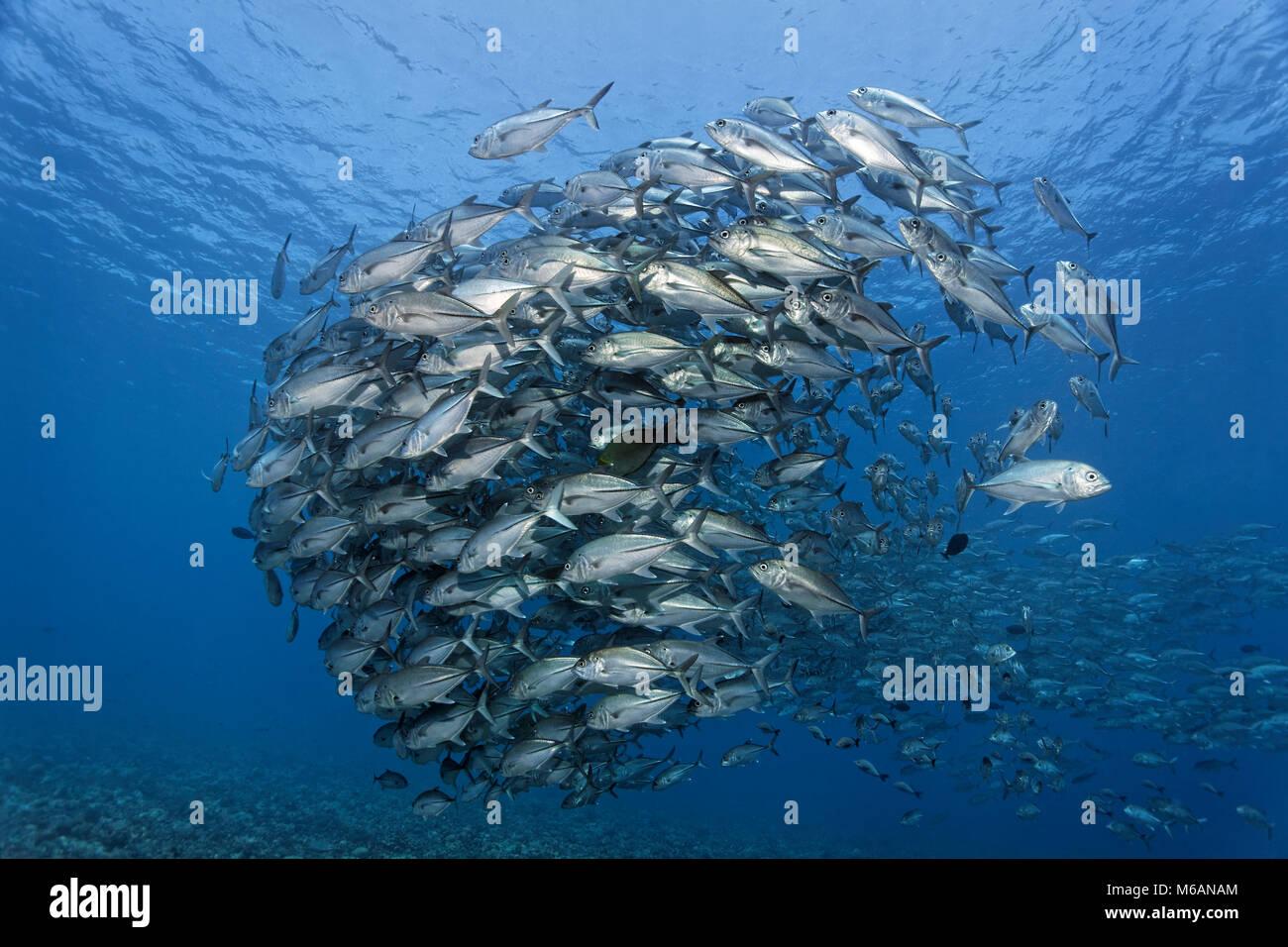 Swarm trevallies patudo (Caranx sexfasciatus) en el agua azul, el Océano Pacífico, la Polinesia Francesa Imagen De Stock