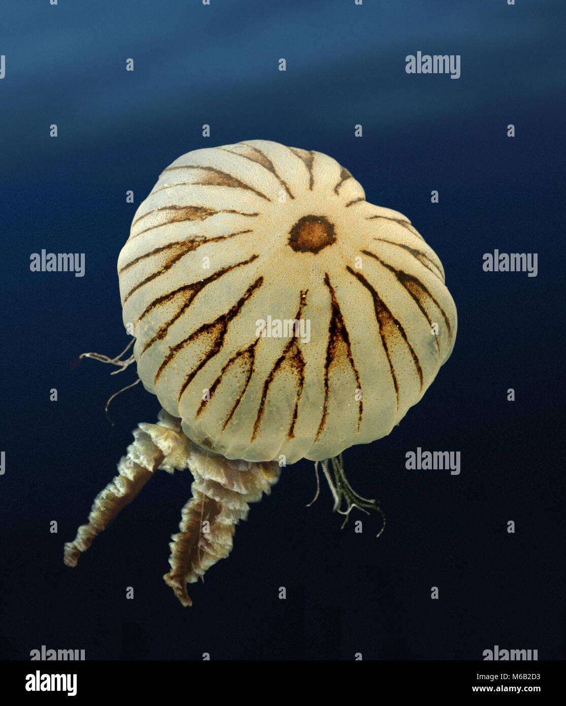 Brújula - Medusa Chrysaora hyoscella Foto de stock