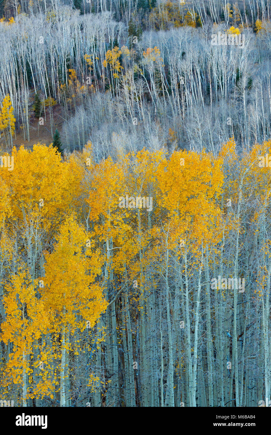 Aspen, Populus tremuloides, Boulder Mountain, Dixie National Forest, Utah Imagen De Stock
