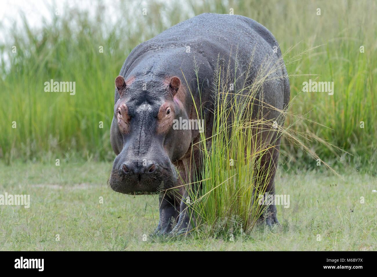 El pastoreo de hipopótamo (Hippopotamus amphibius) mostrando sudor protectores de rayos solares (aka sangre Imagen De Stock