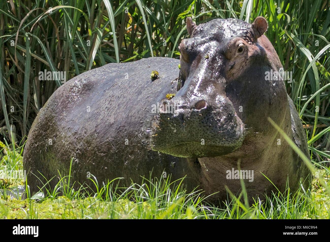 Hipopótamo (Hippopotamus amphibius), 'Murchison's Falls National Park', Uganda, África Imagen De Stock