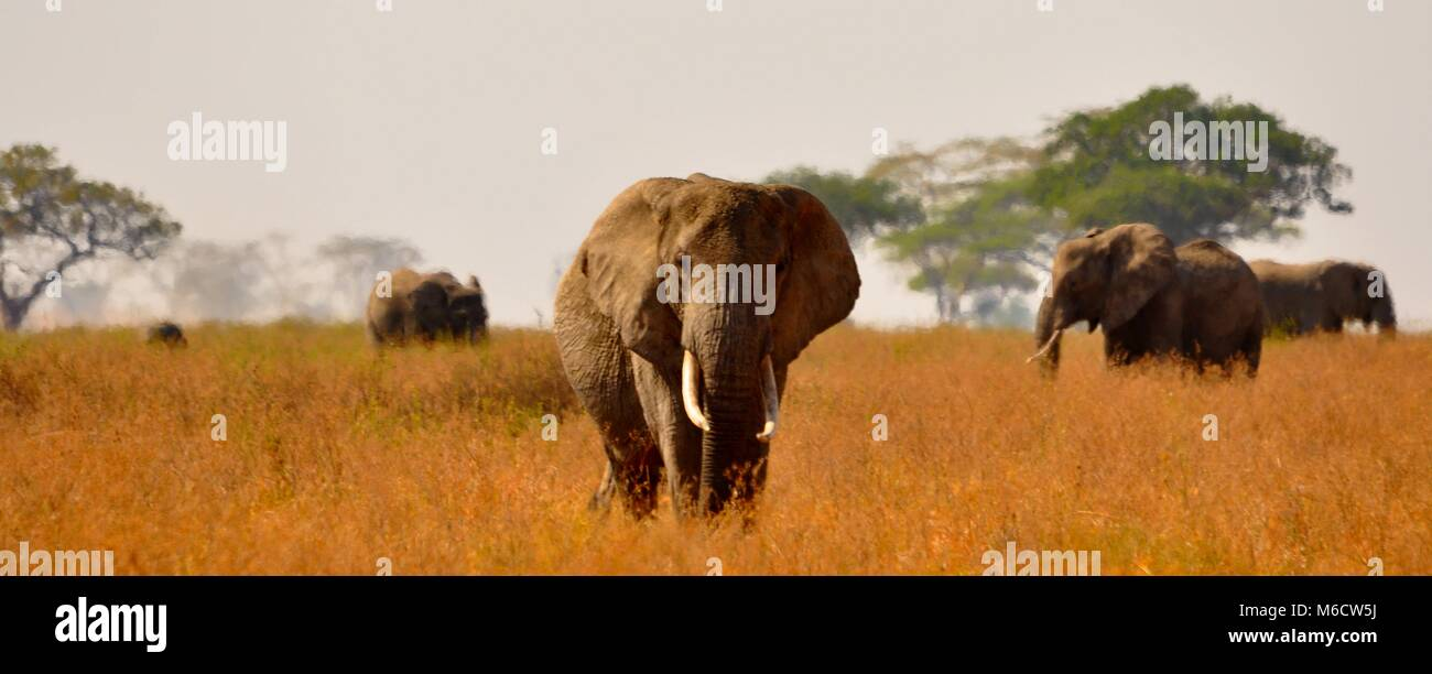 Bush el elefante (Loxodonta africana) caminando hacia la cámara entre una manada . Parque Nacional del Serengeti, Foto de stock