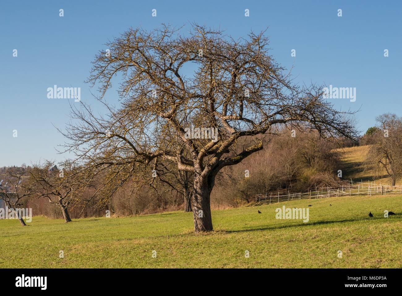 Apple tree en un prado sin manzanas y follaje Imagen De Stock
