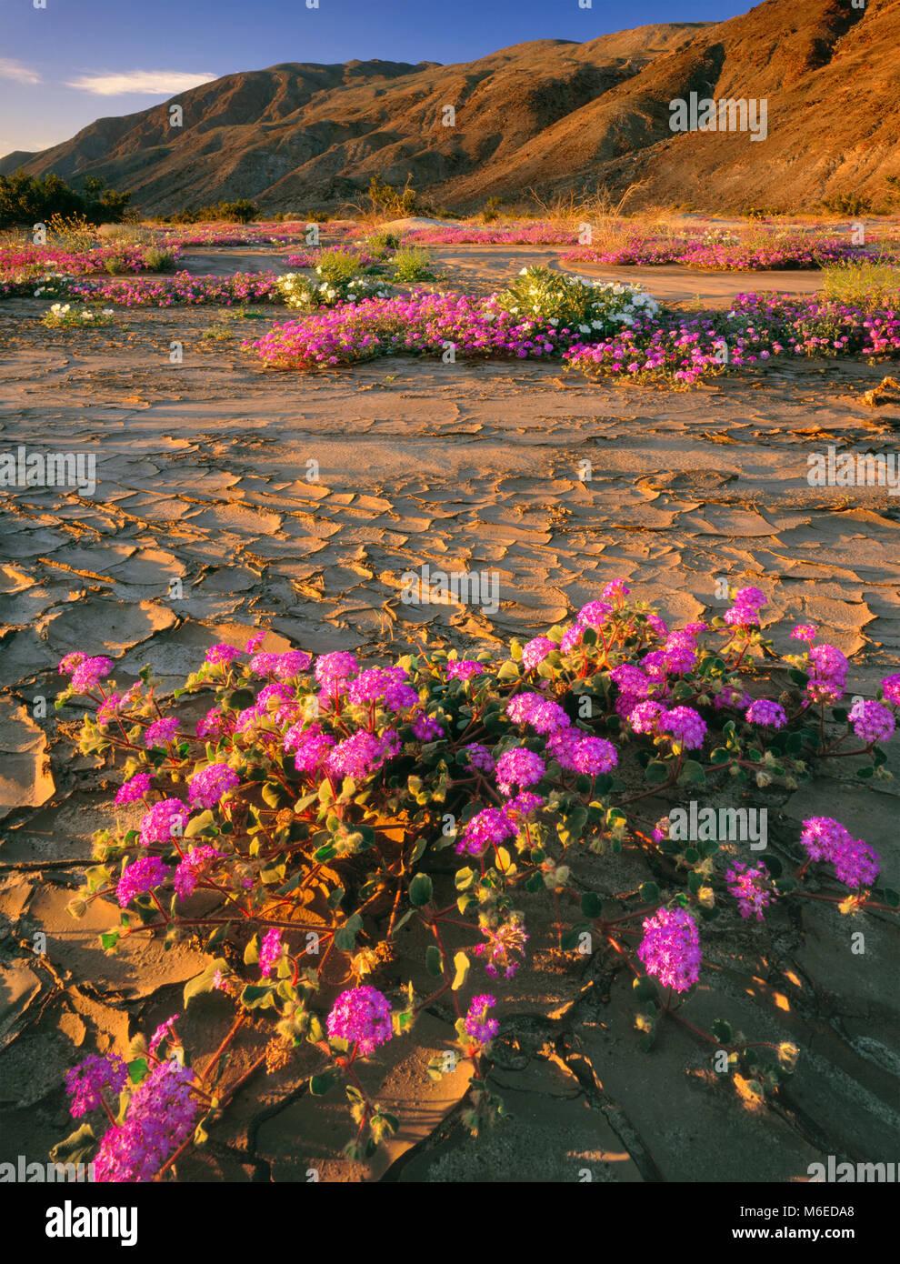 Sand Verbena, pisos de lodo, Henderson Canyon, Desierto Anza-Borrego State Park, CA. Imagen De Stock