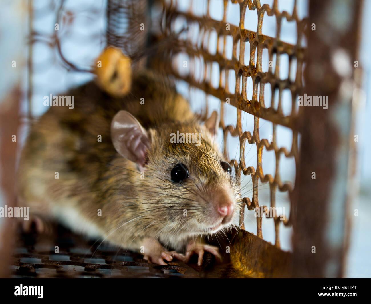 Como atrapar una rata elegant best excellent simple como cazar una rata with como cazar una - Como atrapar ratones ...