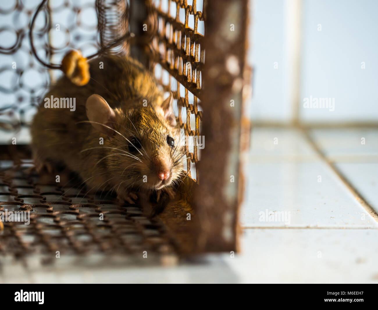 Como atrapar un raton en casa latest como atrapar un raton en casa with como atrapar un raton - Como cazar un raton en un piso ...