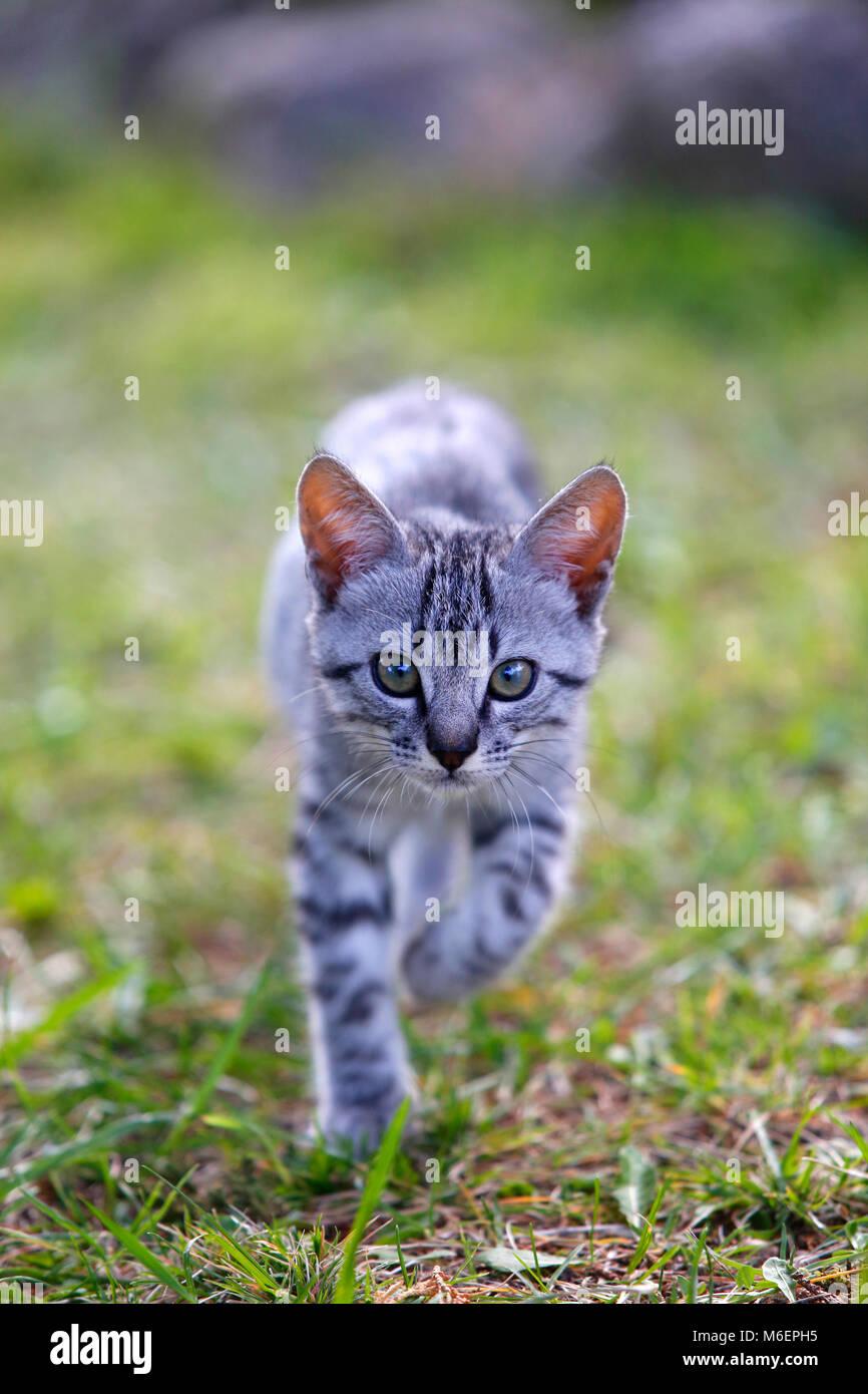2 mes de edad gatito caminando hacia la cámara. Imagen De Stock