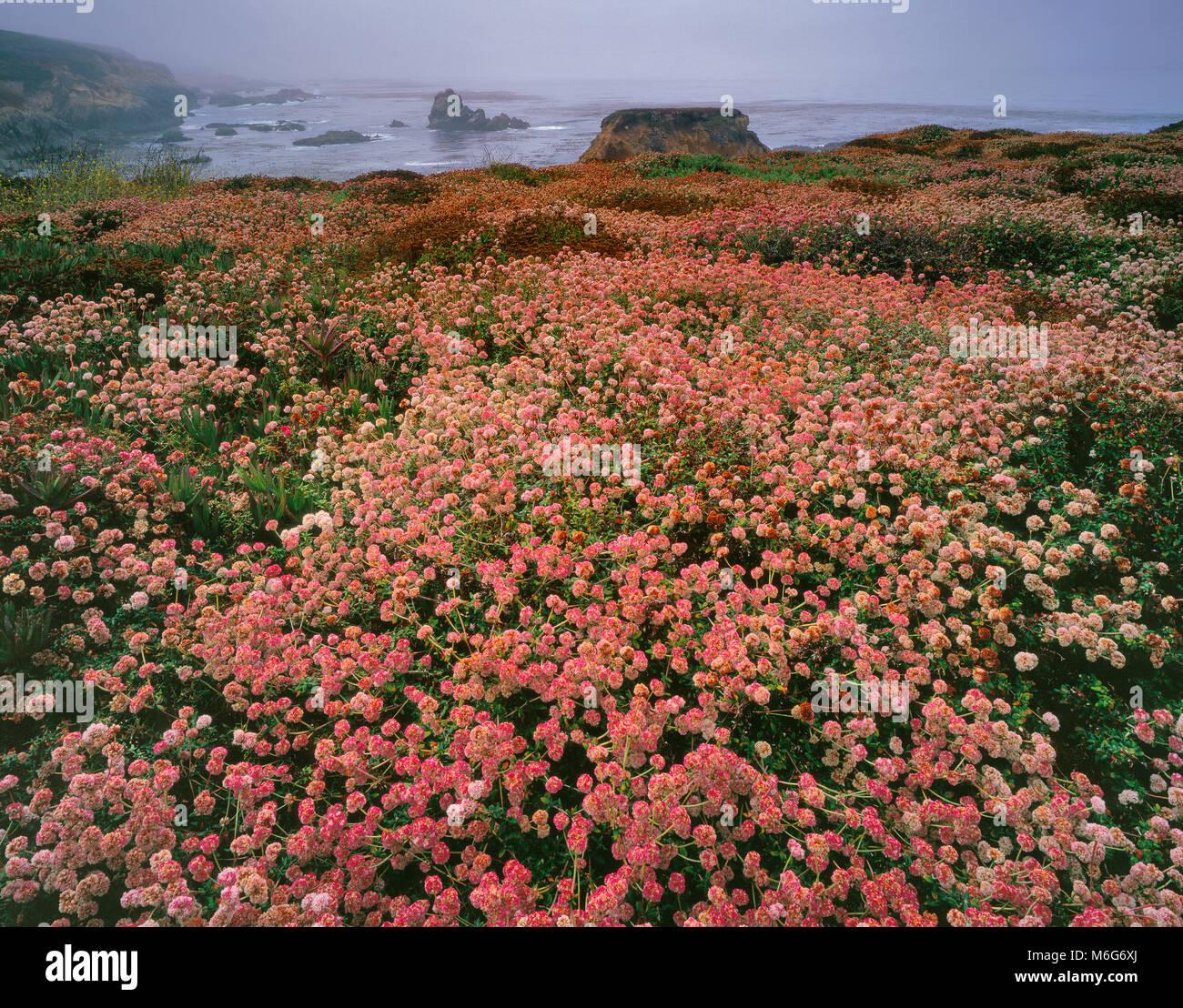 El trigo sarraceno, Eriogonum, niebla costera, la garrapata State Park, Big Sur, el Condado de Monterey, California Imagen De Stock