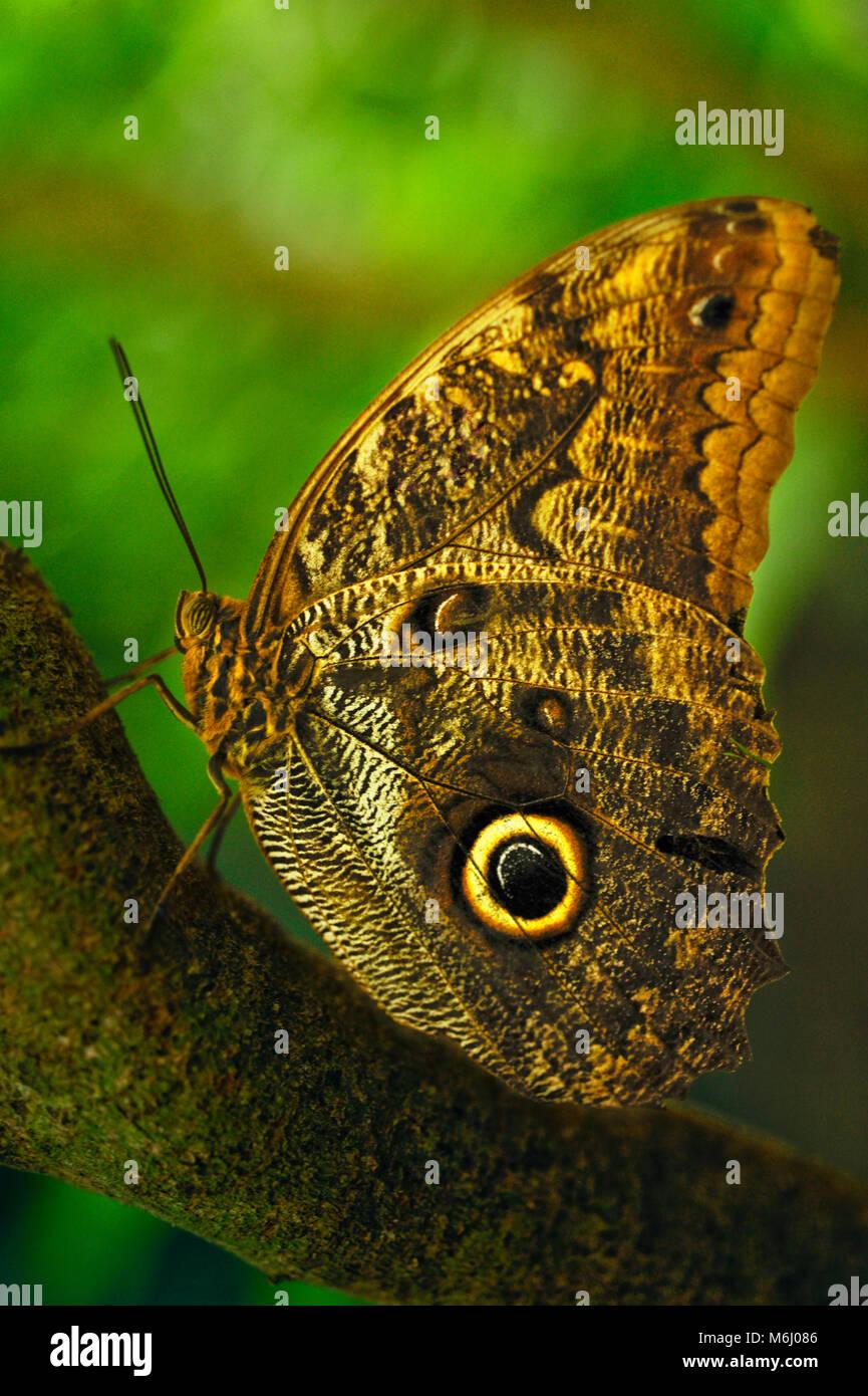 Caligo eurilochus o el bosque de mariposa búho gigante, en los jardines de mariposas en Monte Verde, Costa Rica Foto de stock